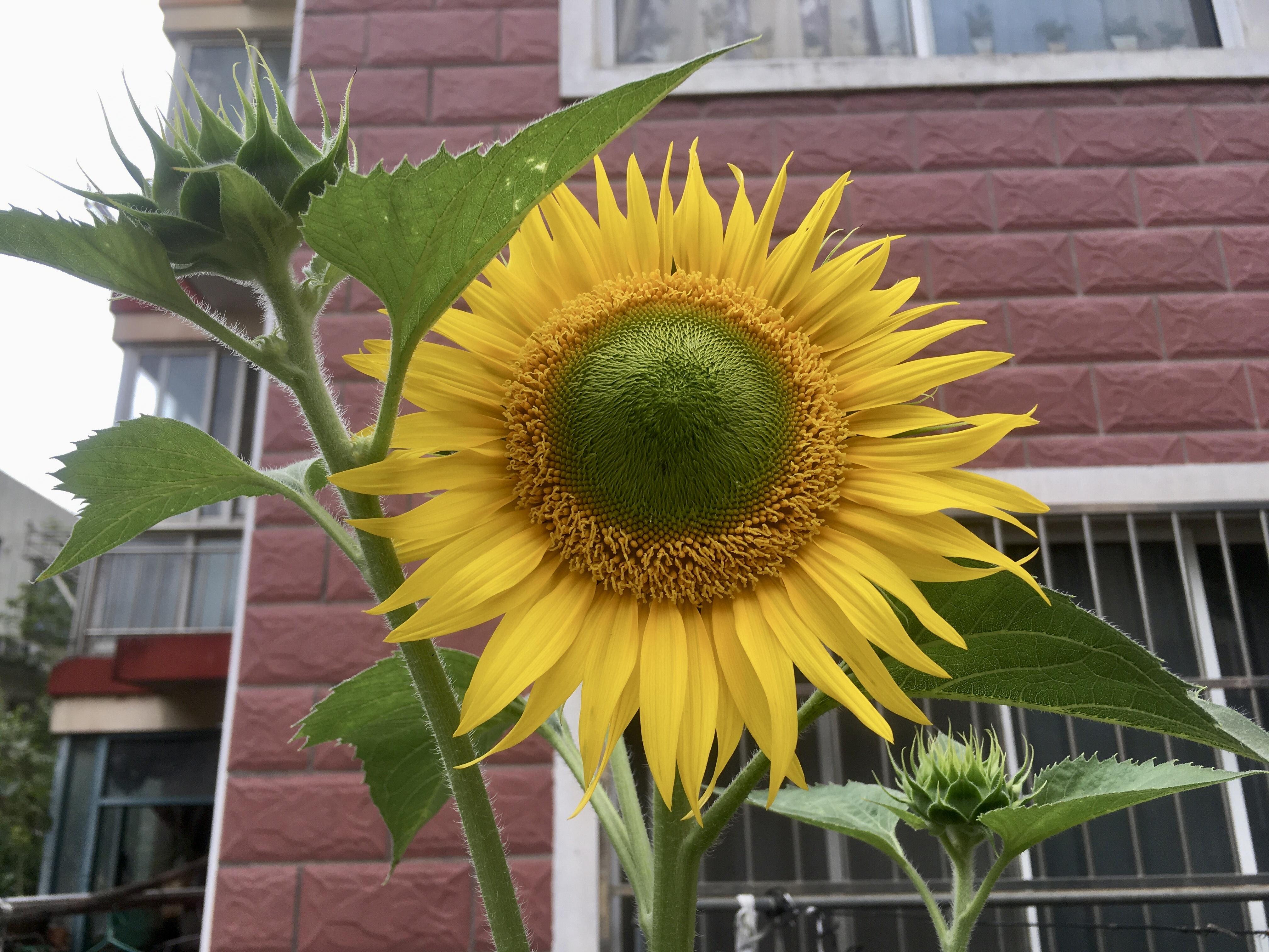向日葵/太陽花(20210620 14:20:58 攝于綠波城小区,大概有 20 年沒見了)